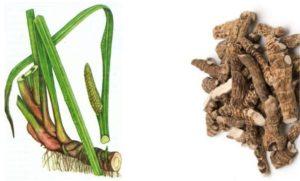 Лечебный корень аира